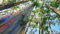 Pohon Berwarna Pelangi Bondowoso