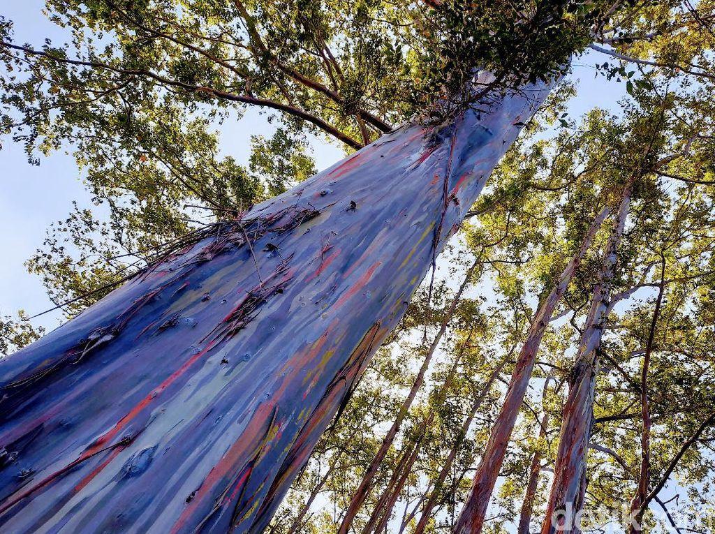 Wow Keren! Ada Hutan Pohon Pelangi di Bondowoso