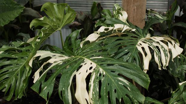 A large white Variegated Monstera Deliciosa