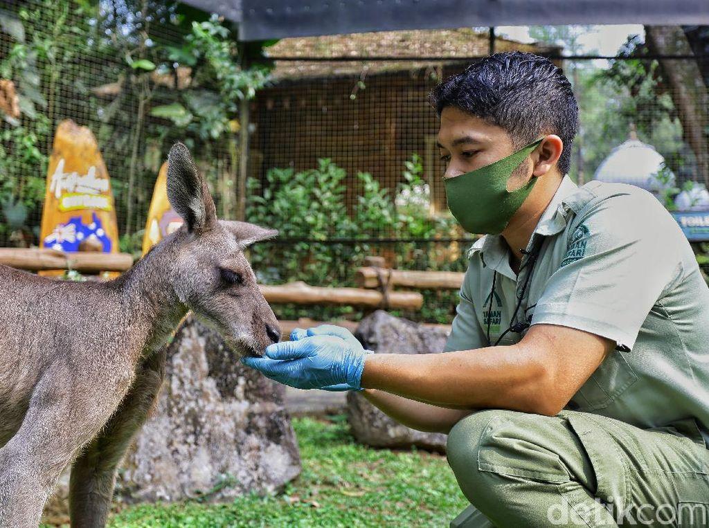 Cerita Penjaga Kanguru: Dulu Tak Suka Binatang, Kini Enggak Bisa Jauh