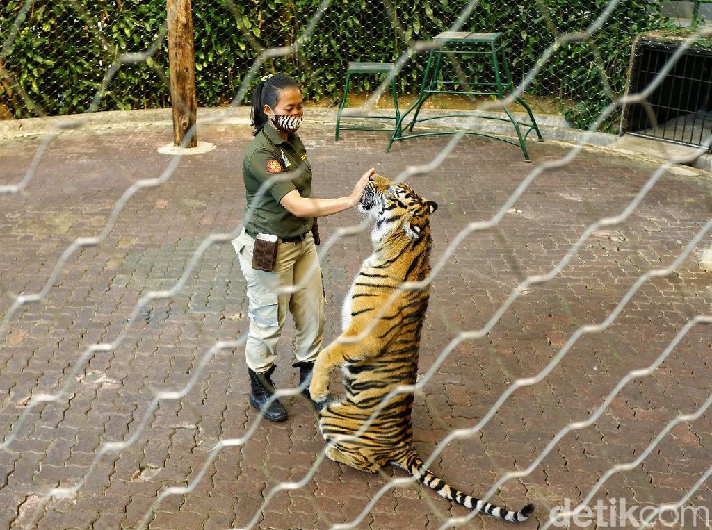 Mengenal Perempuan Pawang Harimau