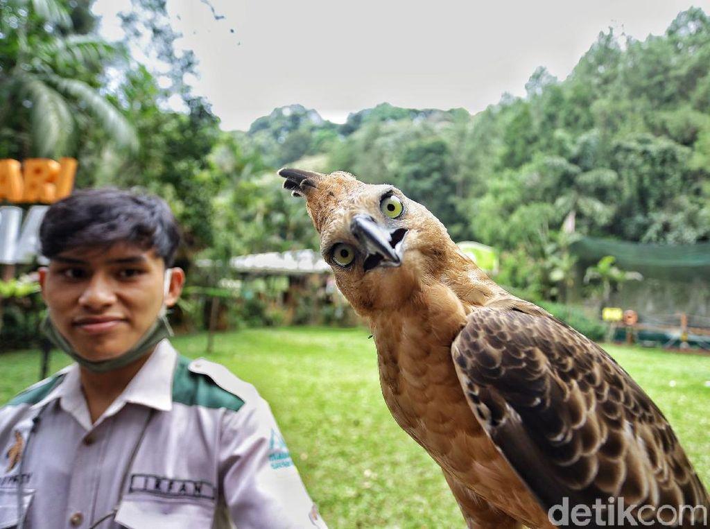 Cerita Penjaga Elang Jawa di Taman Safari: Ikut Pusing soal Jodoh si Burung
