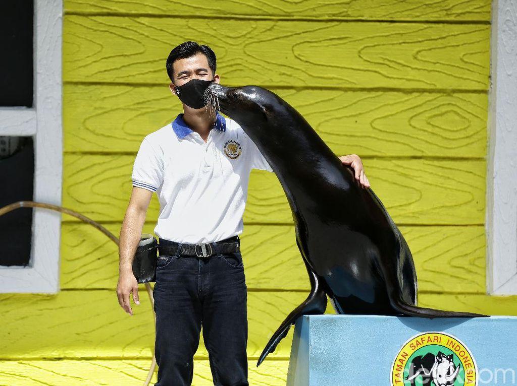 Penjaga Singa Laut di Taman Safari Bogor Blak-blakan Suka Dukanya