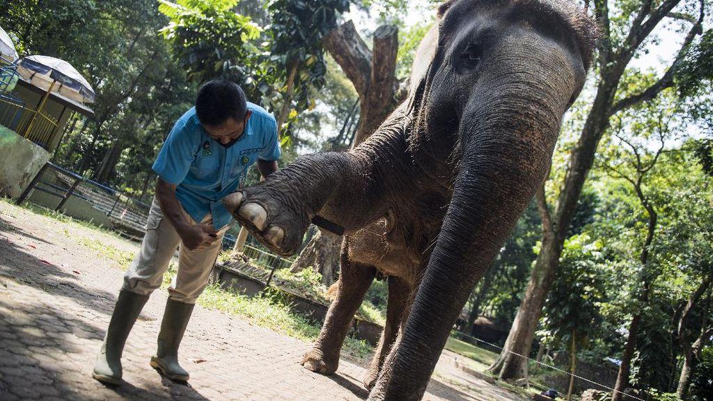 Begini Perawatan Meni-Pedi Gajah di Kebun Binatang