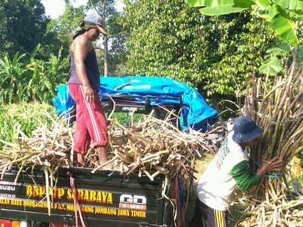 Tekan Impor Gula, Kementan Dukung Revitalisasi Tebu di Jatim
