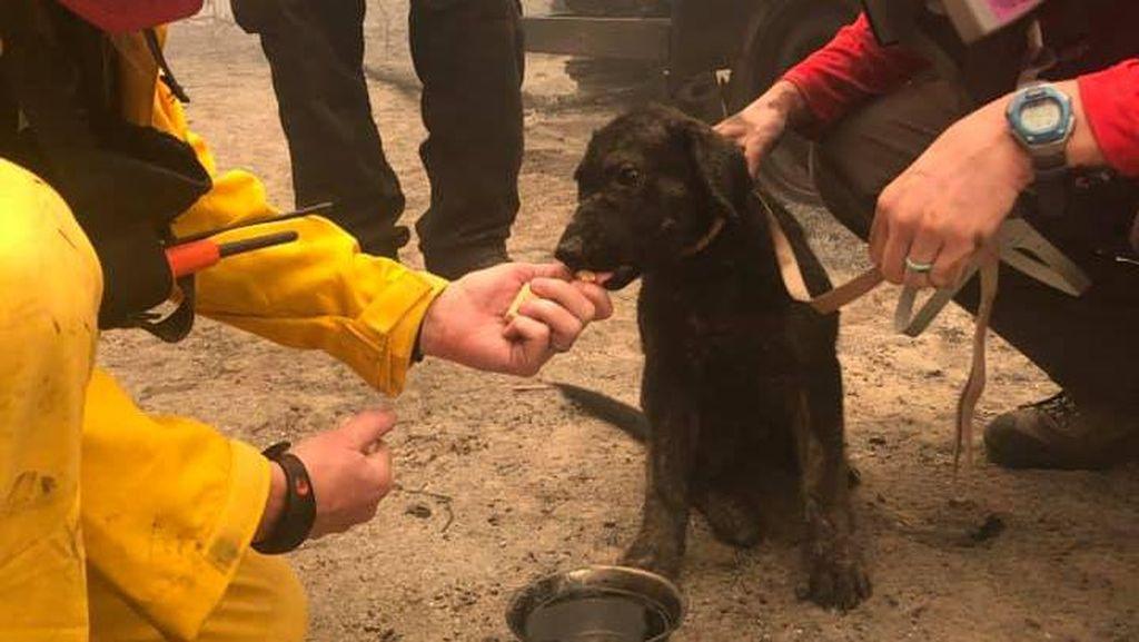 Penyelamatan Anak Anjing dari Kebakaran California