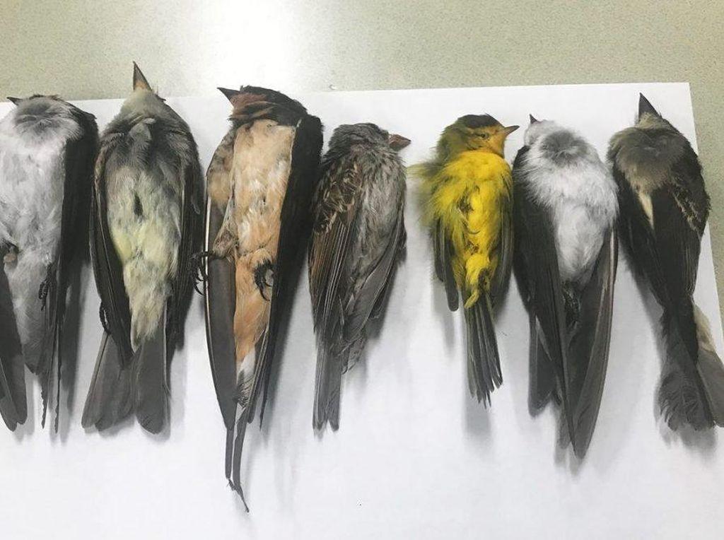 Misteri Ratusan Ribu Burung Mati Mendadak
