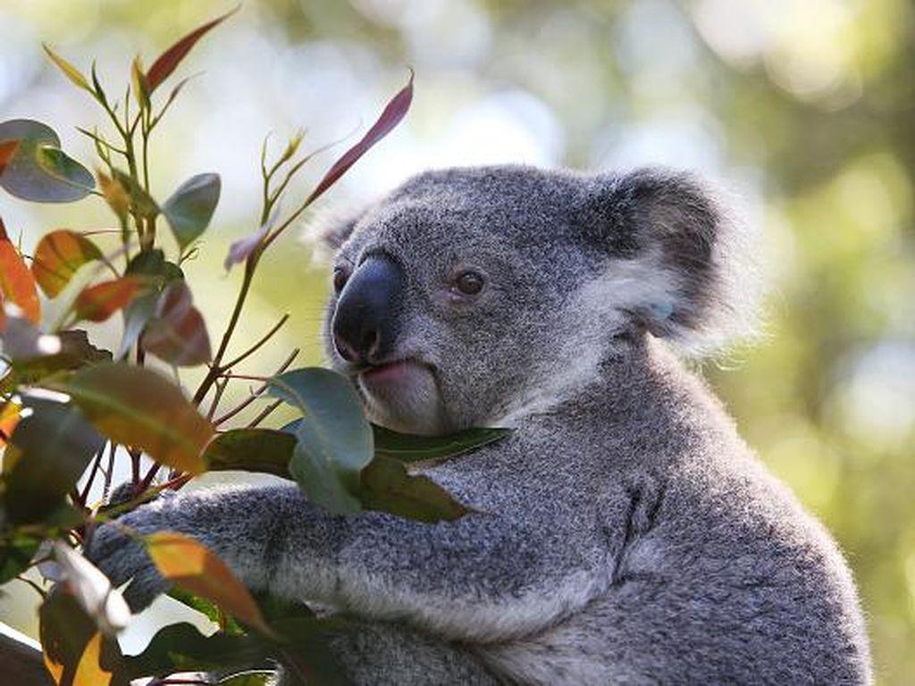 Dikira Hiasan, Ternyata Ada Koala Sungguhan di Pohon Natal