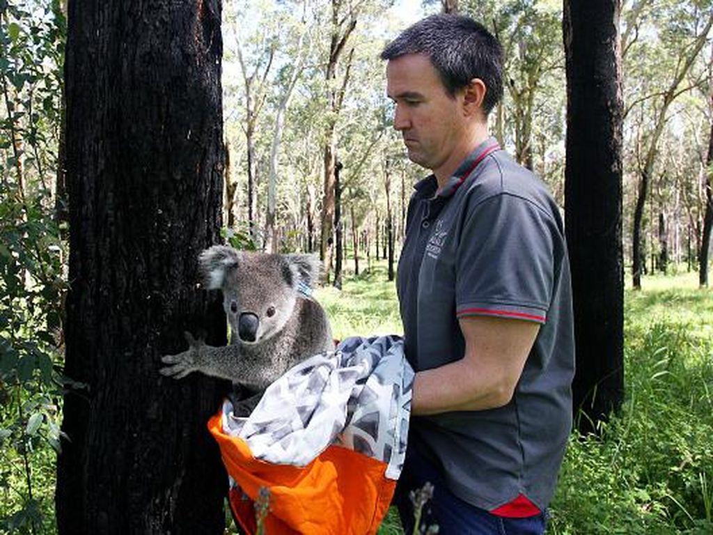 Gampang Stres, Koala Australia Terancam Punah