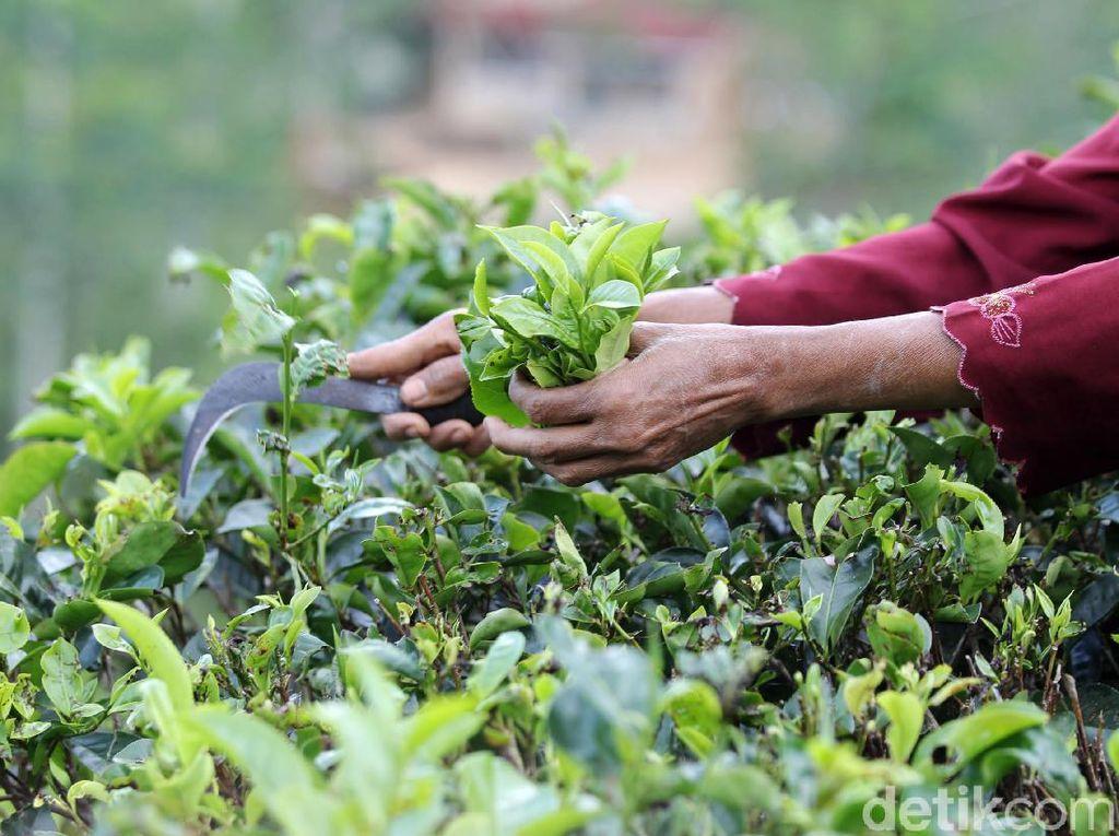 Sektor Pertanian di Kuartal III Tumbuh 2,15%, Ini Kata Akademisi