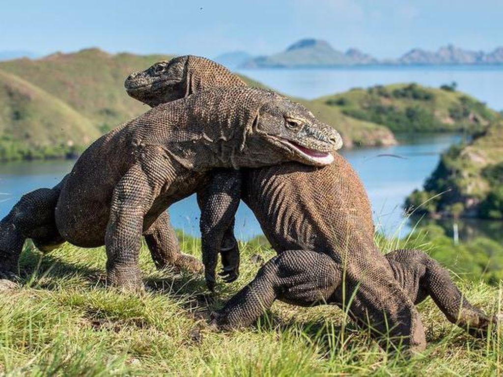 Mengejutkan, Studi Ungkap Komodo Berasal dari Australia