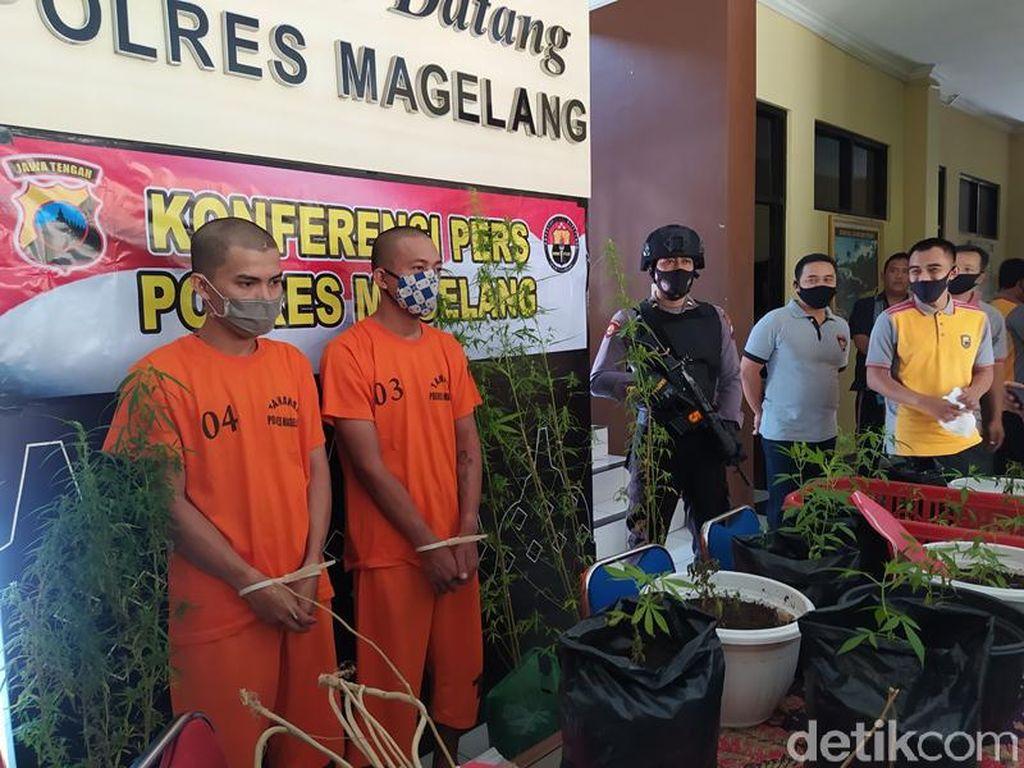 Beli Bibit Via Online, 2 Pria Magelang Tanam 45 Tanaman Ganja