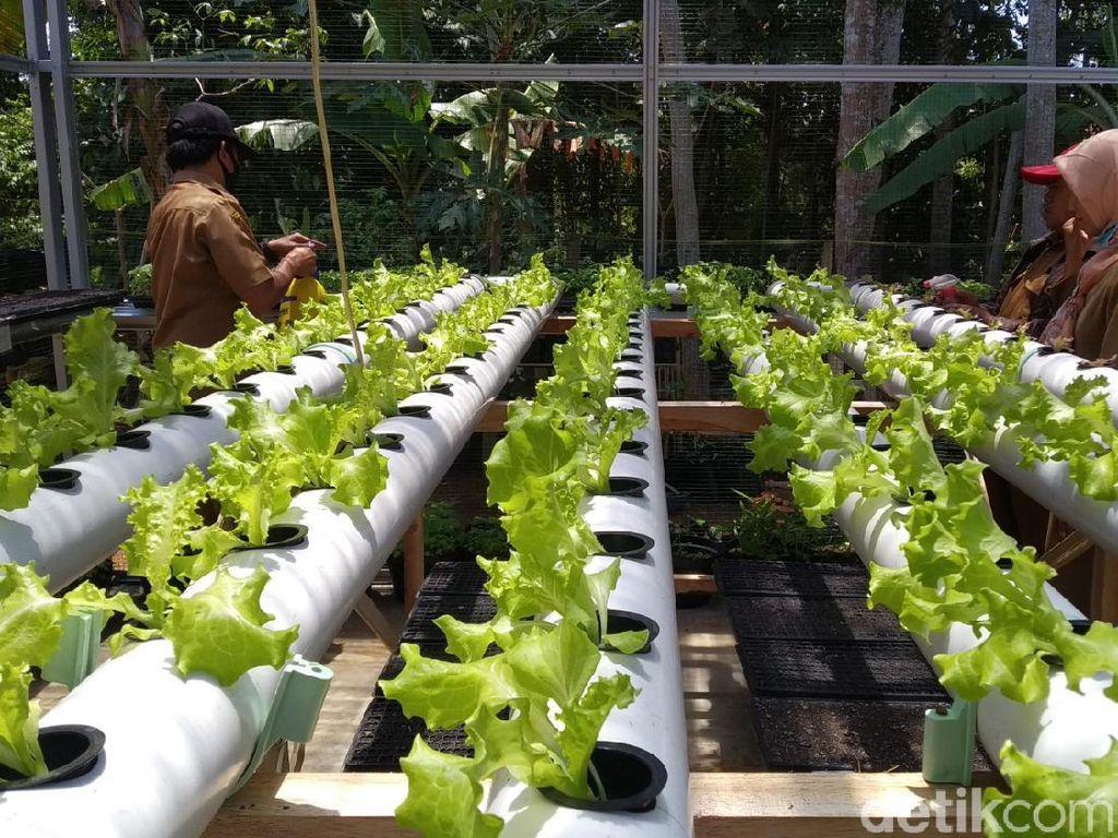 Bertahan di Tengah Pandemi, Warga Kuningan Tanam Sayuran Depan Rumah