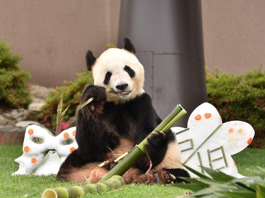 Selamat! Giant Panda Tertua di Dunia Rayakan Ultah ke-28