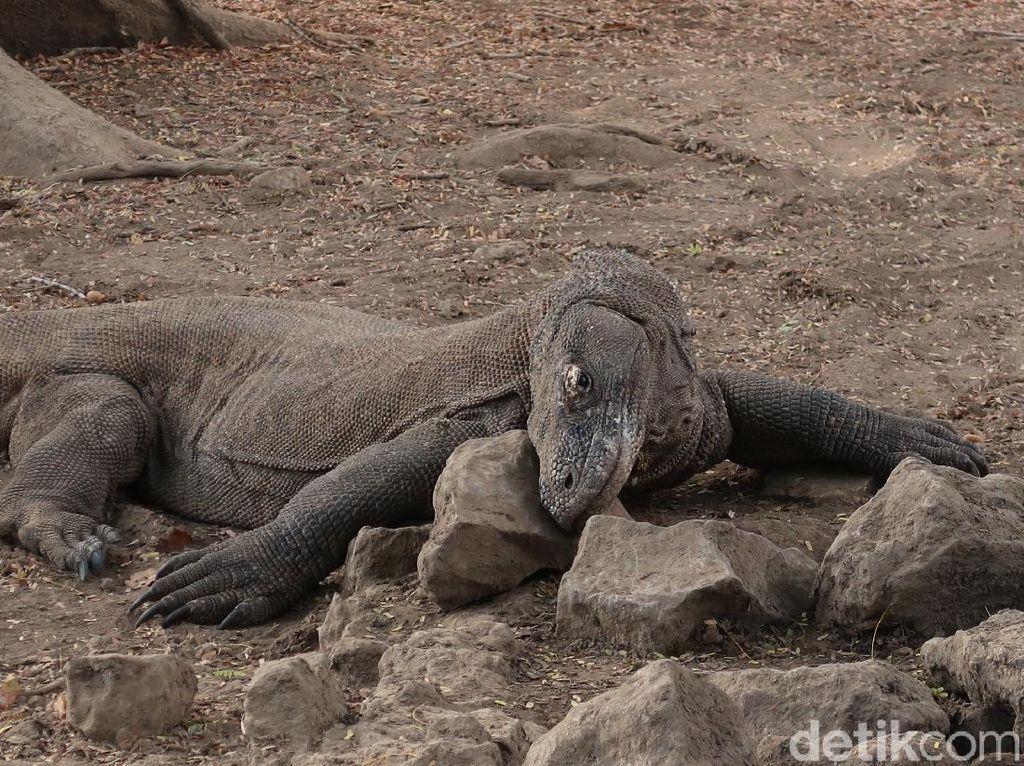 Foto: Mencari Komodo di Sarangnya