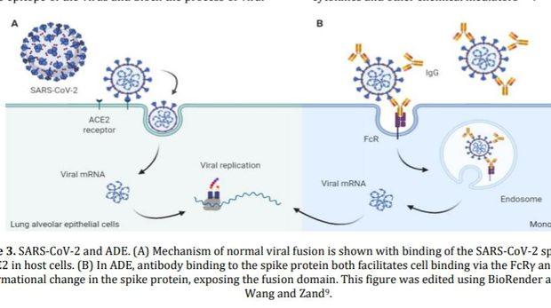 Virus corona infeksi inang, jika terbukti ADE maka virus corona bisa menginfeksi sistem imun.