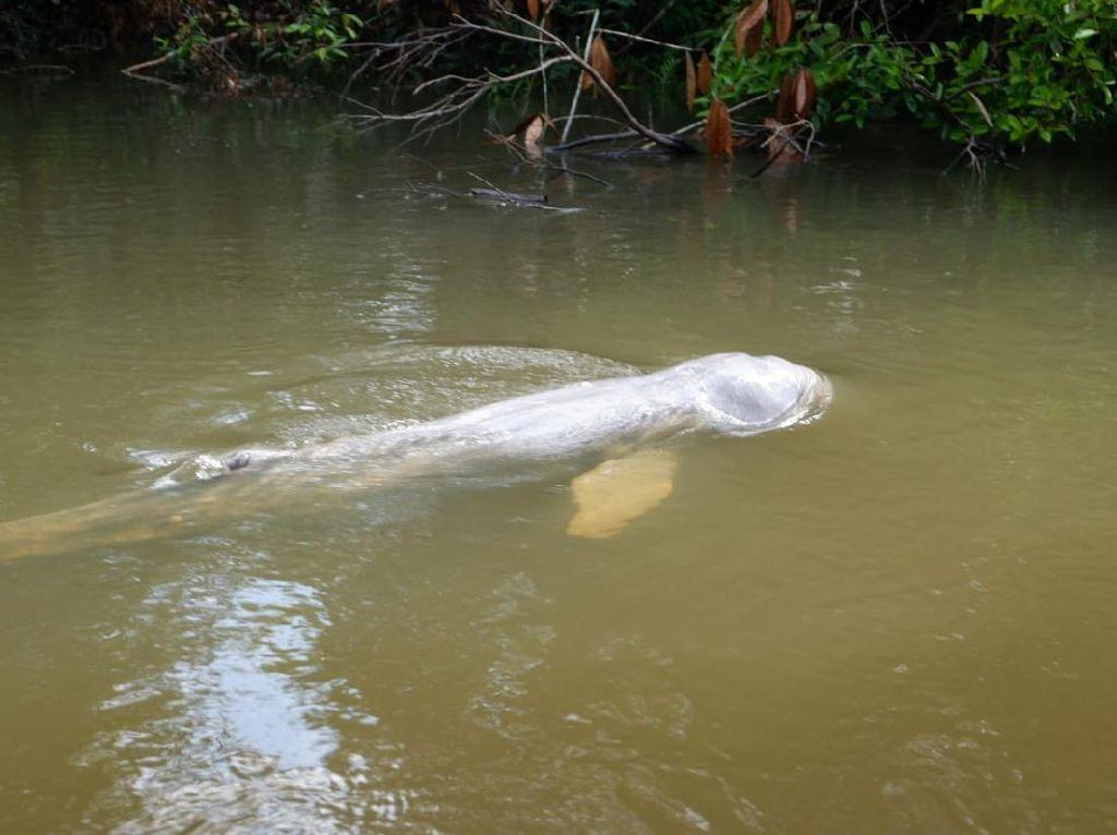 Ikan Pesut yang Nyasar di Sungai Kecil Riau Berhasil Dievakuasi
