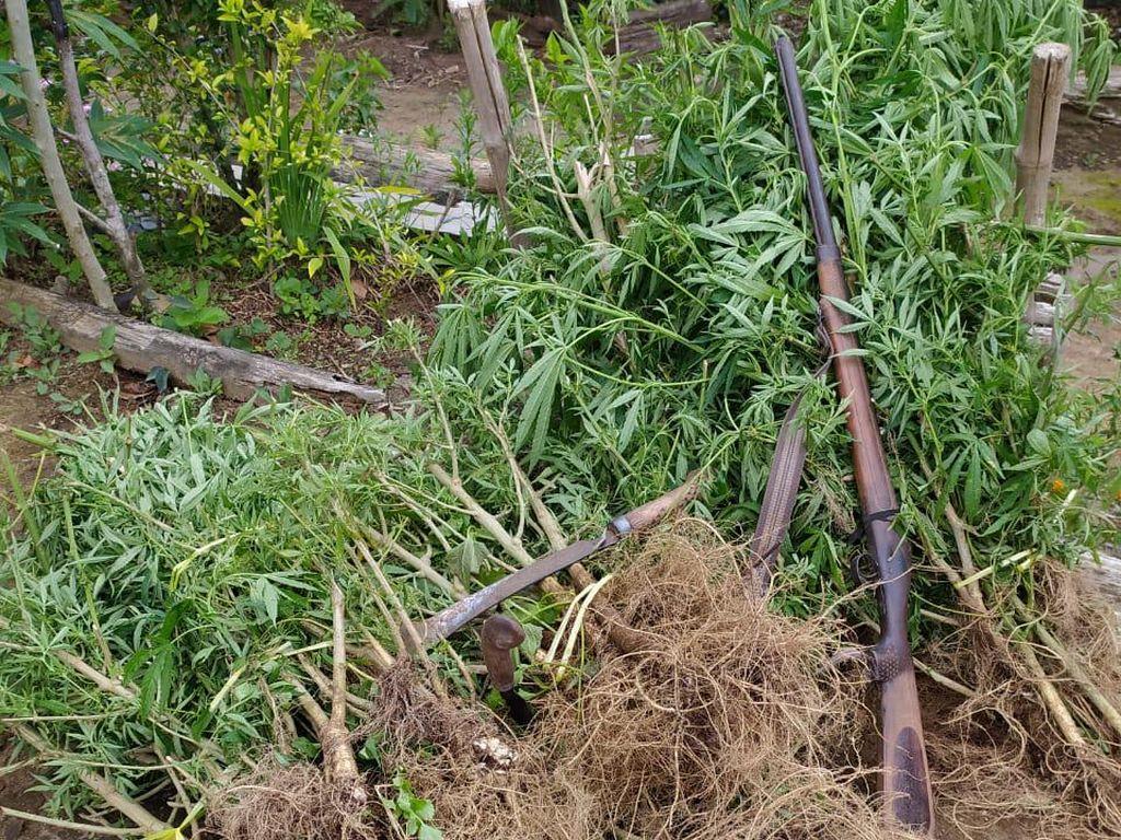 Polda Bengkulu Temukan 1.500 Batang Ganja di Ladang Kopi Warga