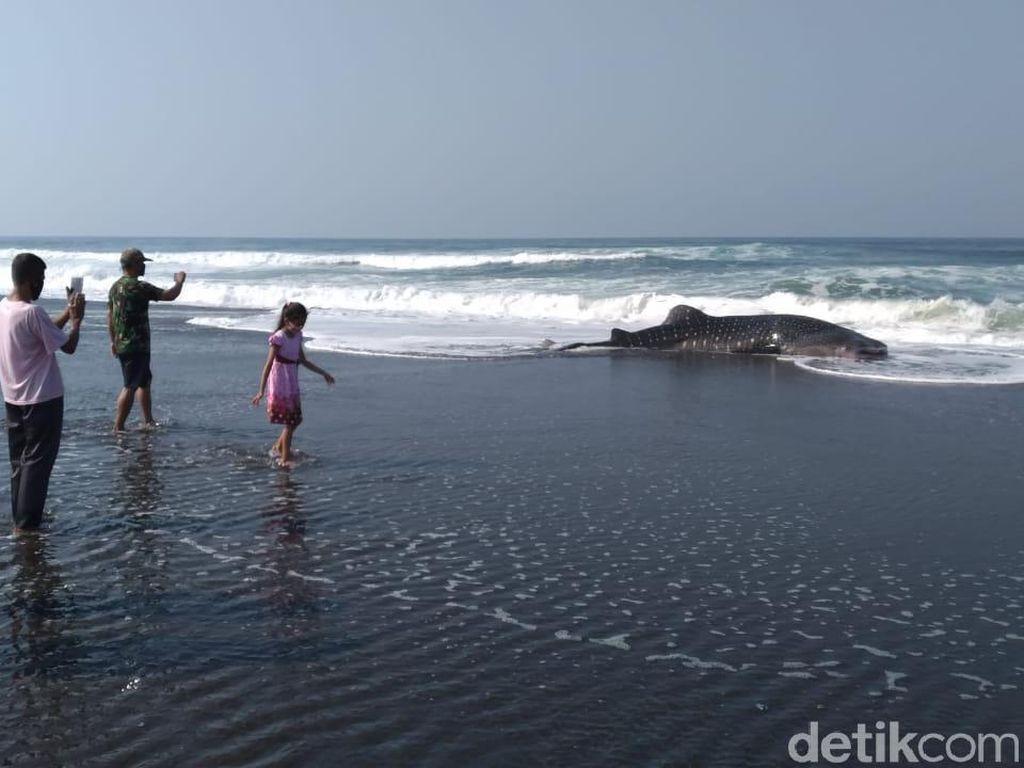 Hiu Paus 5 Meter Terdampar di Pantai Congot Kulon Progo