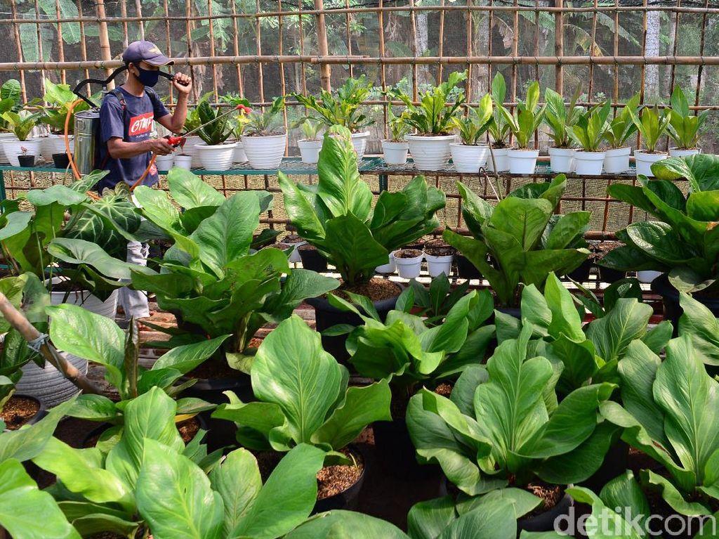 Menengok Kebun Anthurium, Tanaman yang Sempat Hits Satu Dekade Silam