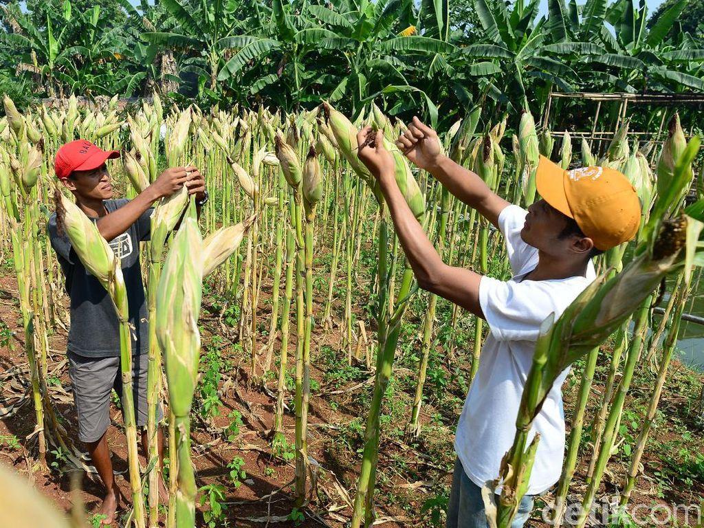 Produktivitas Jagung Ditergetkan Naik hingga 9 Ton Per Hektare