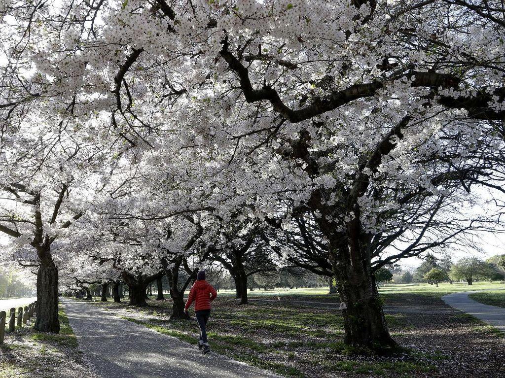 Menikmati Bunga Sakura Mekar di Selandia Baru
