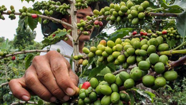 Petani merawat buah kopi jelang masa panen di perkebunan kopi Desa Jabal Antara, Aceh Utara, Aceh, Minggu (20/9/2020). Data Badan Pusat Statistik (BPS) menunjukkan total nilai ekspor biji kopi dan kopi olahan Indonesia sepanjang Januari-Mei 2020 turun 12,2 persen dibandingkan periode yang sama tahun lalu terdampak pandemi COVID-19. ANTARA FOTO/Rahmad.