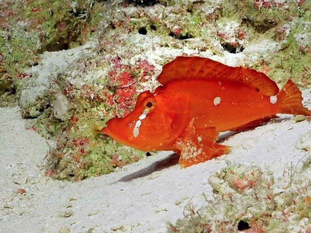 Spesies Langka Ikan Berjalan Menampakkan Diri di Australia