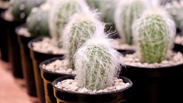 ilustrasi kaktus espostoa