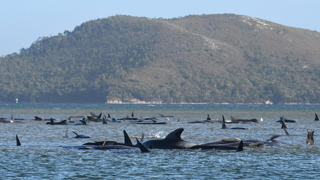 Ratusan Paus Terdampar di Tasmania, 90 Ekor Mati