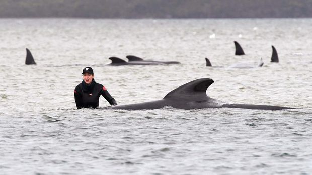 A member of a rescue crew stands with a whale on a sand bar near Strahan, Australia, Tuesday, Sept. 22, 2020. Around one third of an estimated 270 pilot whales that became stranded on Australia's island state of Tasmania had died as rescuers managed to return 25 to the sea in an ongoing operation. (Brodie Weeding/Pool Photo via AP)