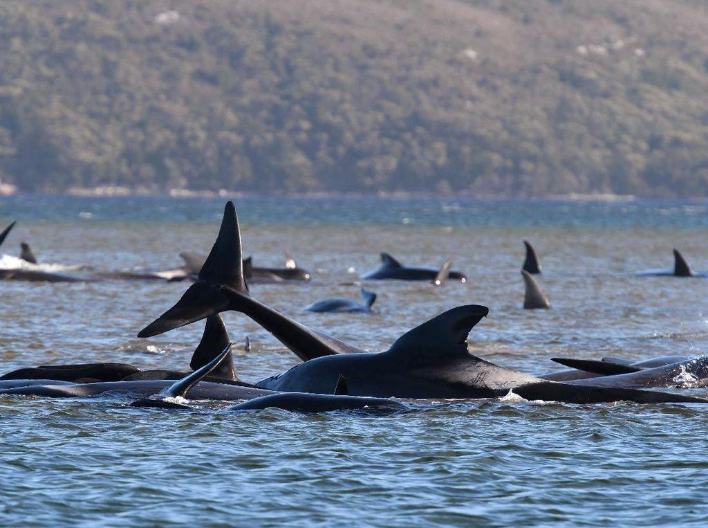 Ratusan Paus Terdampar di Tasmania, 88 Ekor Sudah Melaut