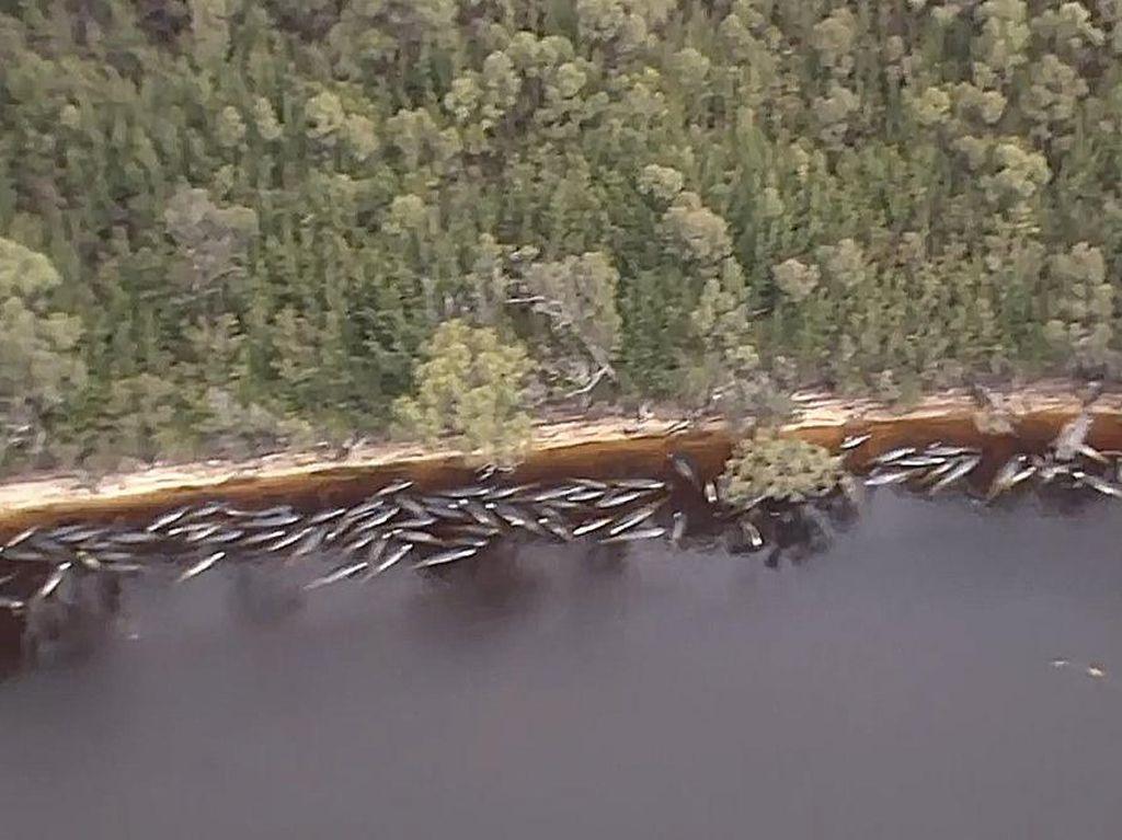 Penampakan dari Udara Ratusan Paus Terdampar di Tasmania