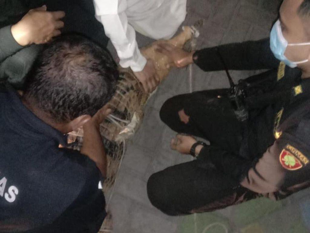 Buaya 2 Meter di Surabaya yang Dievakuasi Diserahkan ke BKSDA Jatim