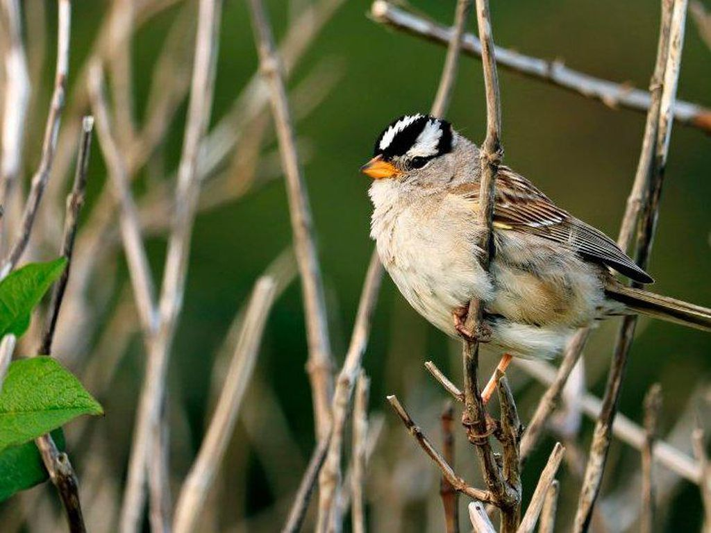 Nyanyian Burung Pipit di AS Makin Manis dan Seksi Selama Lockdown