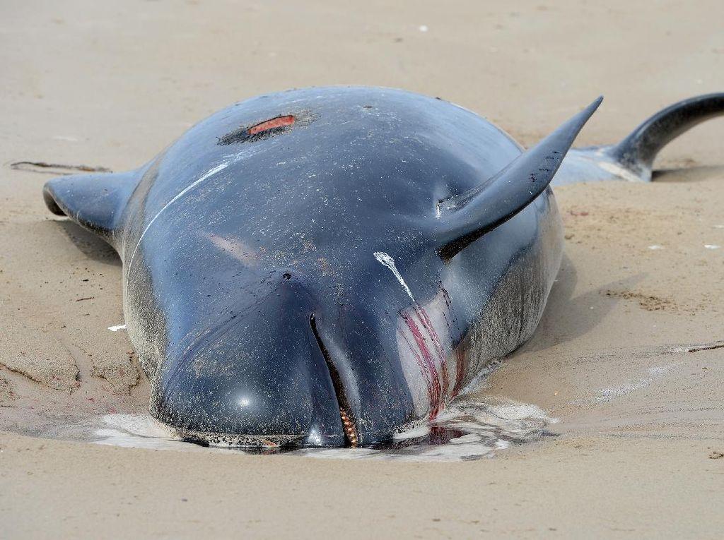 Sedih! Paus Terdampar di Australia Terpaksa Disuntik Mati