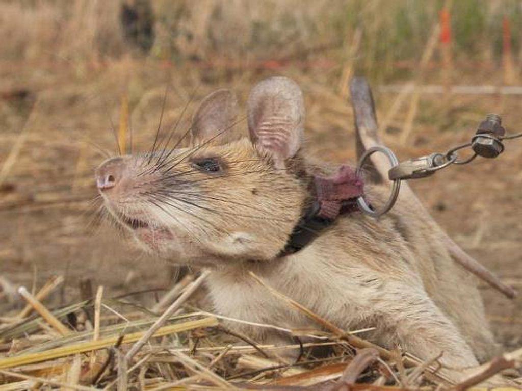 Magawa Tikus Pengendus Ranjau Darat Itu Pensiun