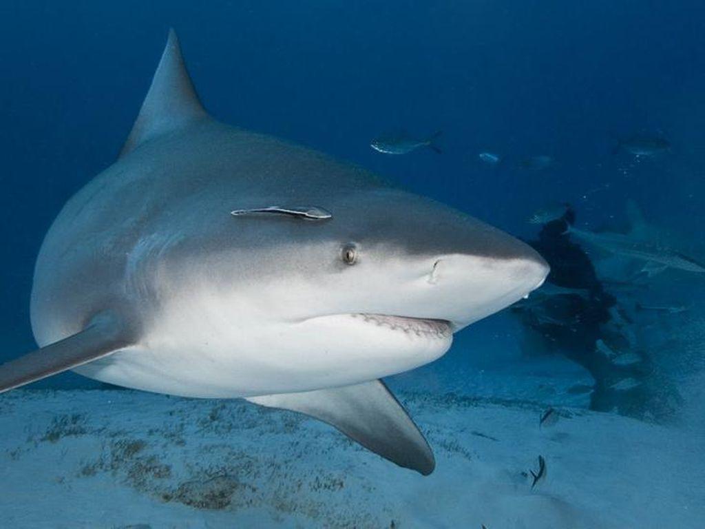Produksi Vaksin Corona Berdampak Punahnya Ikan Hiu