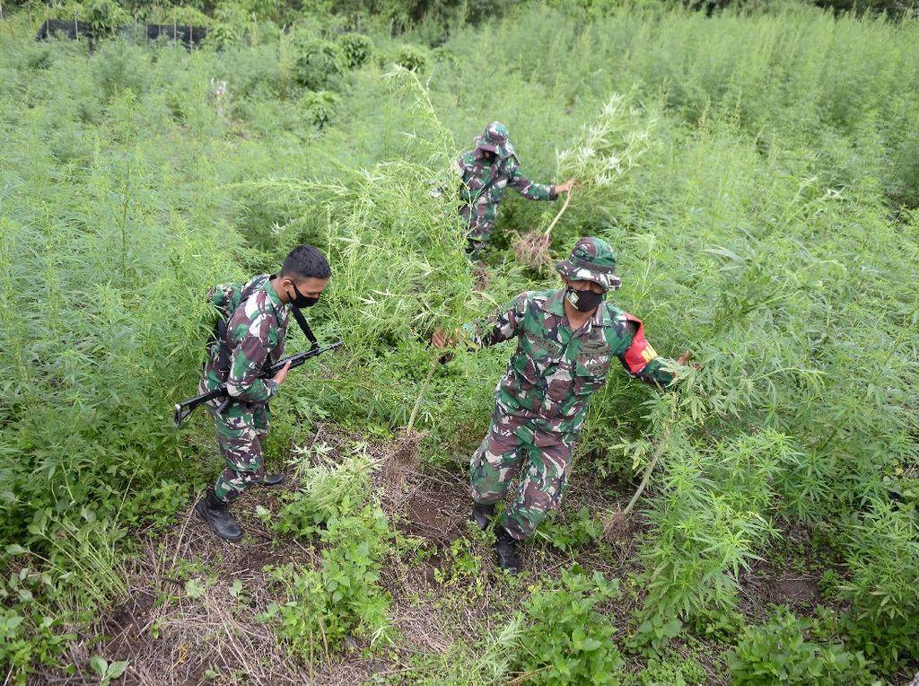 10 Hektare Ladang Ganja di Aceh Dimusnahkan