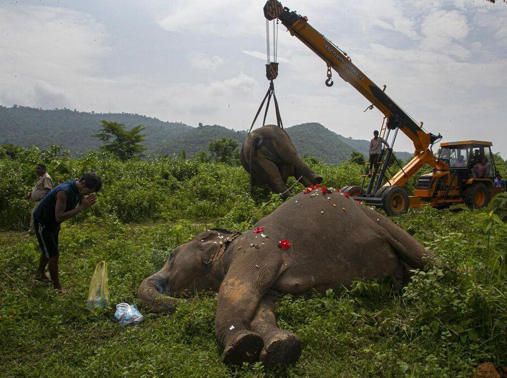 2 Gajah yang Mati Disetrum di India Akhirnya Dimakamkan