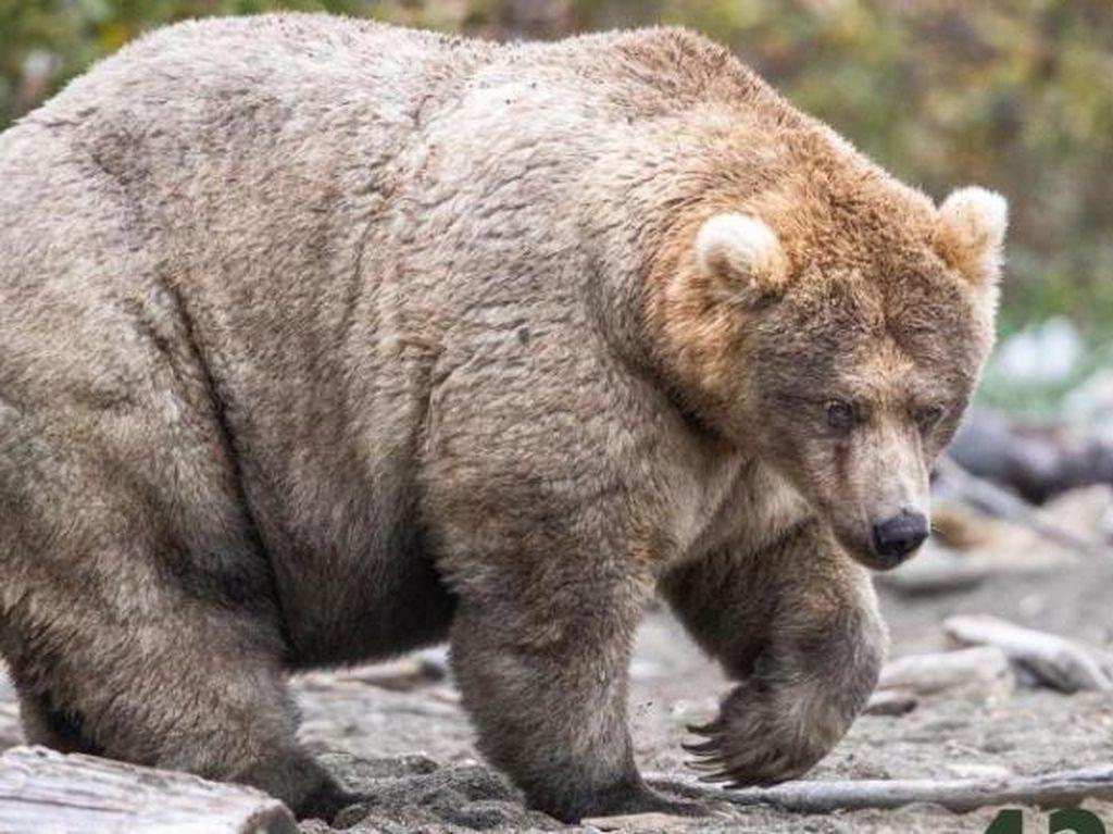 Beruang Mana yang Menjuarai Kontes Paling Gendut Tahun Ini?