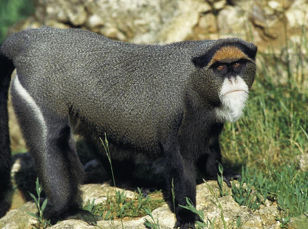 Krisis Turis, Uganda Andalkan Monyet Emas yang Terancam Punah