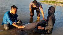 Penuh Luka dan Tersesat, Lumba-lumba Terdampar di Lombok Dievakuasi