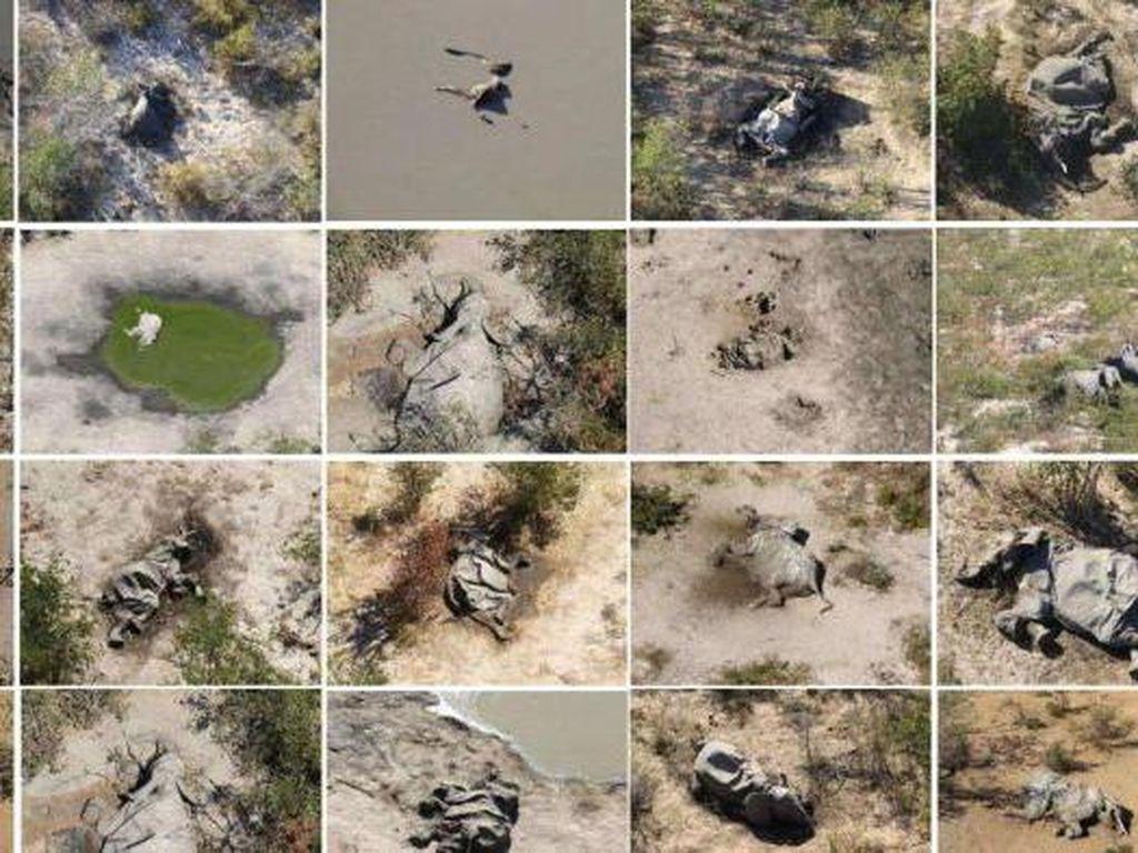 Ratusan Gajah Afrika Mati Secara Misterius, Apa Penyebabnya?