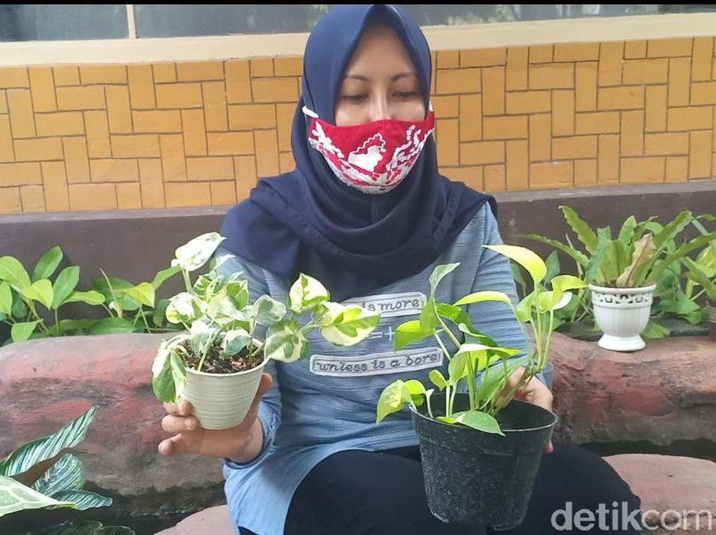 Emak-emak di Madiun Budidayakan Tanaman Hias Rival Janda Bolong