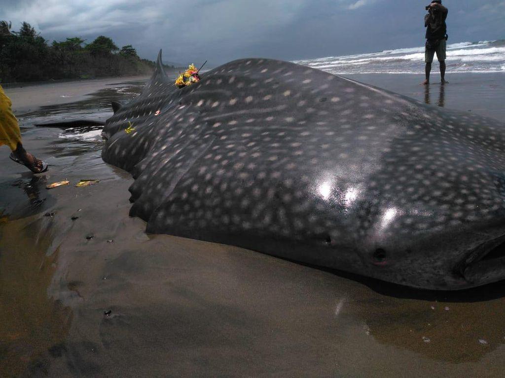 Hiu Tutul Sepanjang 7,5 Meter Mati Terdampar di Pantai Pekutatan Bali