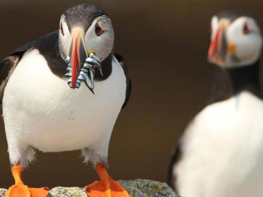 Cerita Puffin yang Menyelamatkan Burung Laut di Seluruh Dunia