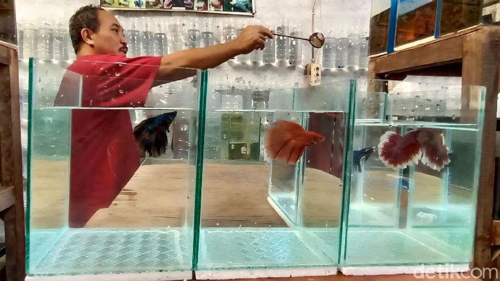 Ramainya Bisnis Ikan Cupang, Sehari Bisa Raup Rp 1 juta
