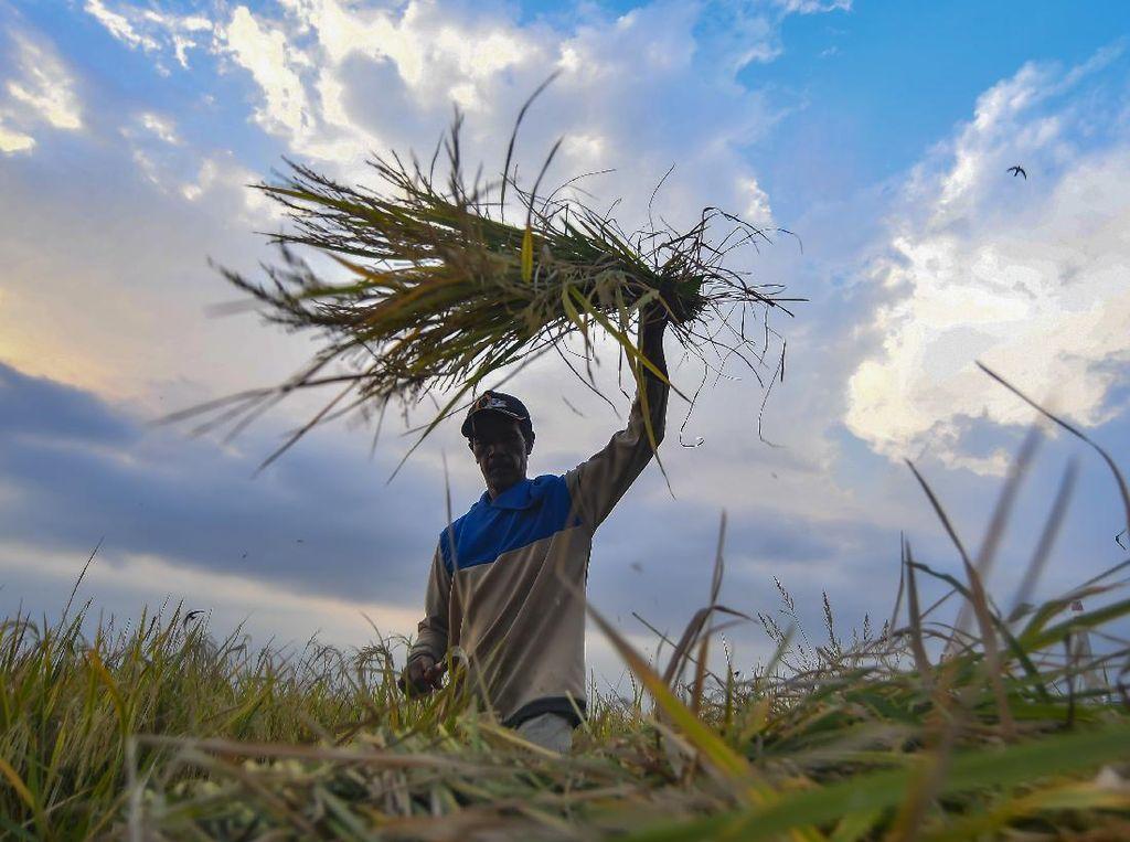 Ada Asuransi Gagal Panen Buat Petani, 80% Iuran Dibayarin Pemerintah
