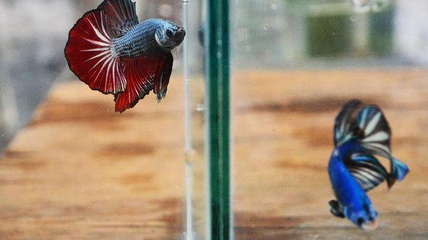 Dua ikan cupang hias berada di dalam akuarium di Desa Kaliputu, Kudus, Jawa Tengah, Kamis (1/10/2020). Berbagai jenis ikan Cupang hias dibudidayakan di tempat itu dan saat pandemi COVID-19 penjualan naik drastis dari rata-rata 15 ekor per hari menjadi 50 ekor per hari dengan harga jual Rp5 ribu hingga Rp3 juta per ekor. ANTARA FOTO/Yusuf Nugroho/aww.
